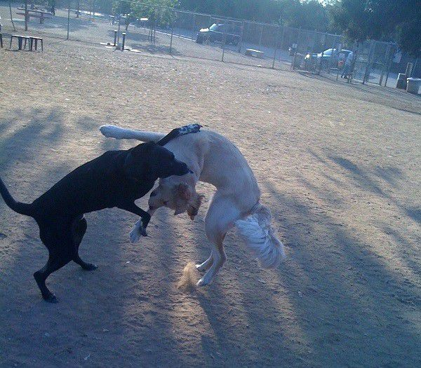 Riggins wrestles with a friend at the Griffith Park Dog Park in Los Angeles, CA.