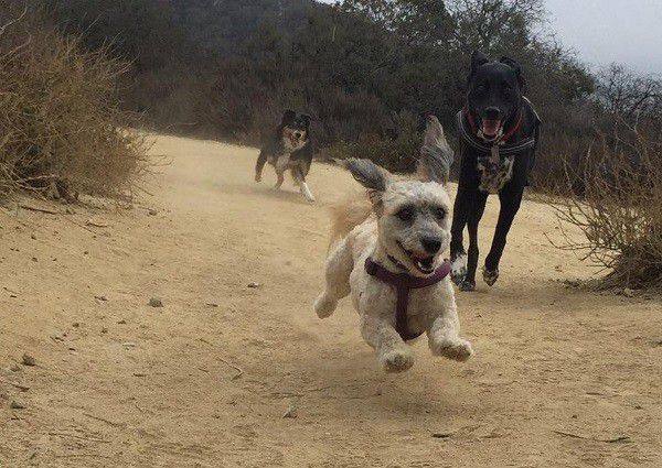 Riggins takes part in a game of chase at Runyon Canyon.