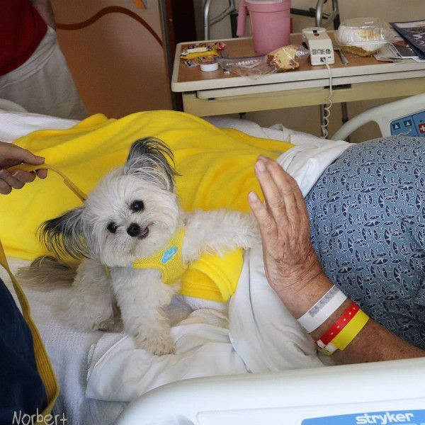 Norbert has proves that prophetic stranger right as a beloved therapy dog. (Image courtesy Norbert's Facebook page)