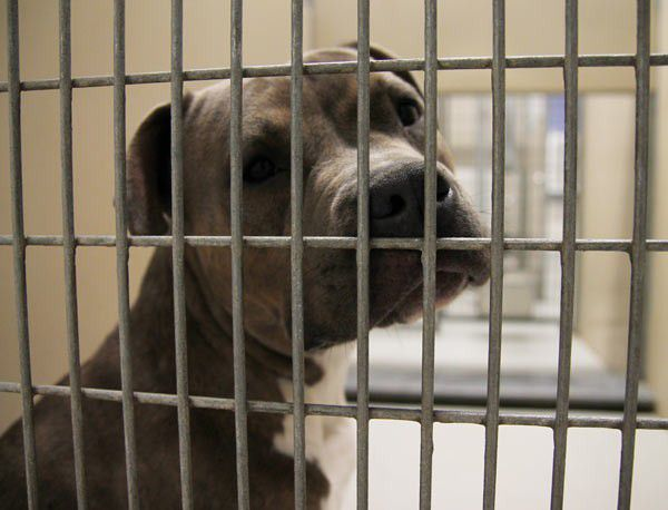According to the policy of PETA and anti-pit activists, this is where Pit Bulls belong, and this is where they will stay. (Pit Bull in Cage via Shutterstock)
