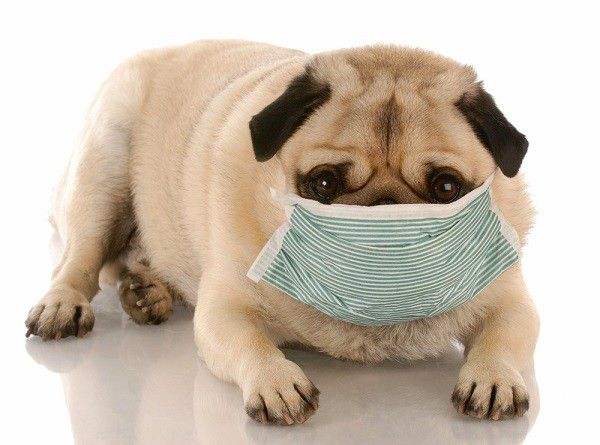 Sick or contagious pug wearing a medical mask. by Shutterstock