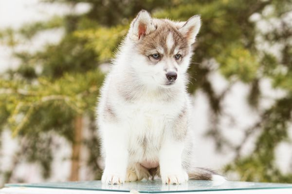 Siberian Huskies come in almost any color.