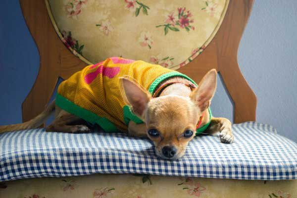 Use fabric to make a new dog bed. Chihuahua on vintage chair by Shutterstock