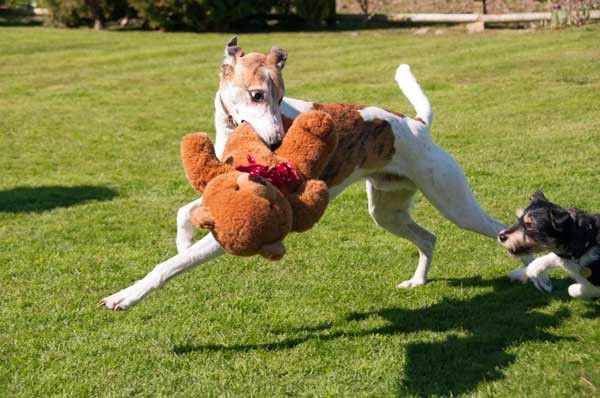 Your dog doesn't need all those toys -- get him to share with his friends! Dogs run around with teddy by Shutterstock
