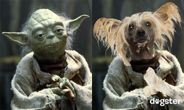 logo-Chinese-crested-as-Yoda-600x360 copy