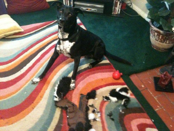 Practicing his killing skills with a stuffed skunk.
