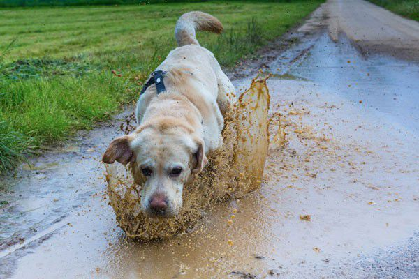 Dog running through a puddle by Shutterstock