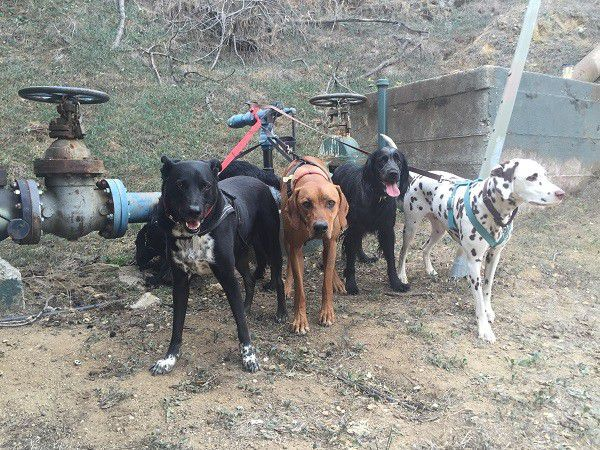 Riggins and a few of his pack mates including Luna, the dalmatian (All photos by Wendy Newell unless otherwise noted.)