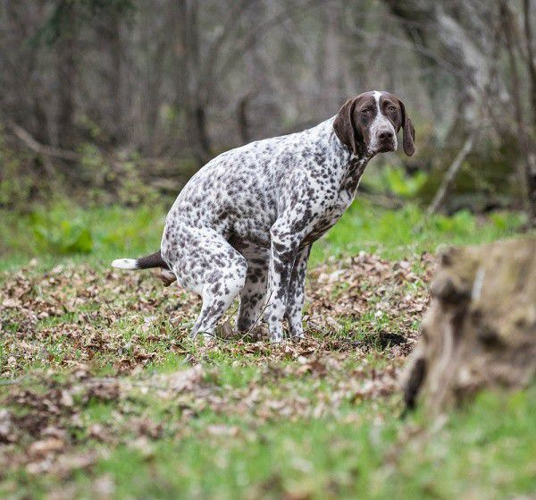german shorthaired pointer having a poop in the woods (By Shutterstock)