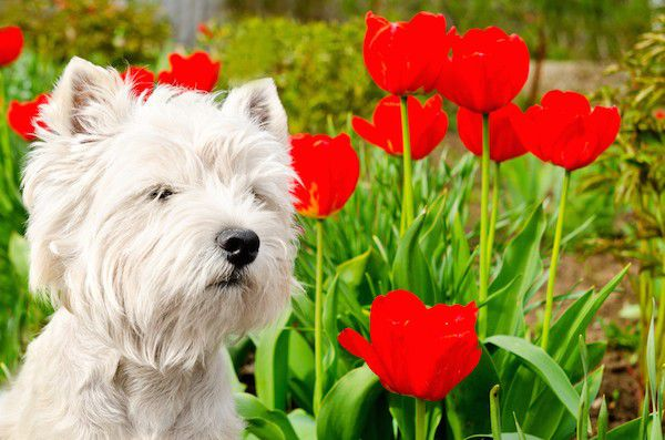 Dog with tulips by Shutterstock.