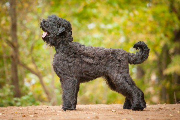 The Black Russian Terrier.