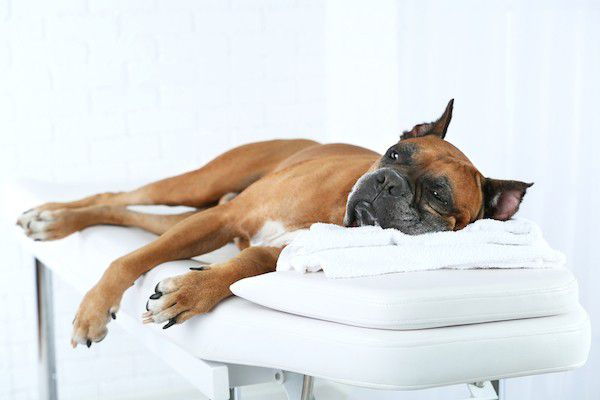 Dog on a massage table by Shutterstock.