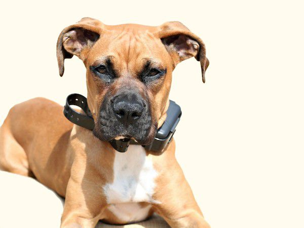 Boxer wearing a shock collar by Shutterstock.