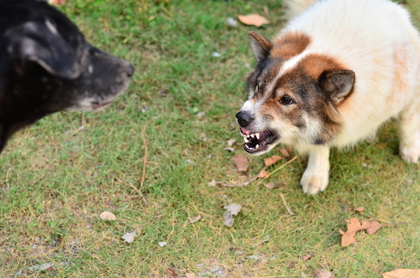One dog growling at another dog.
