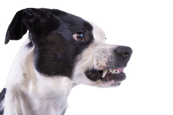 A black and white dog, ready to bite.