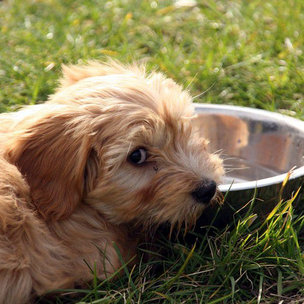 what type of water alternatives can dogs have