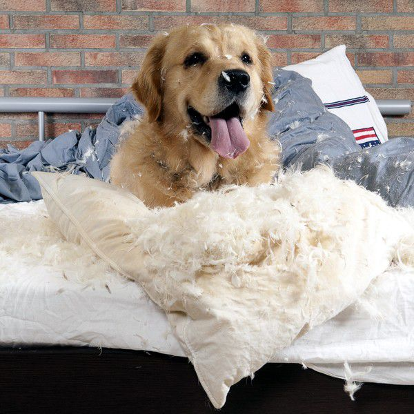 A dog in a bed with the pillows ripped apart.