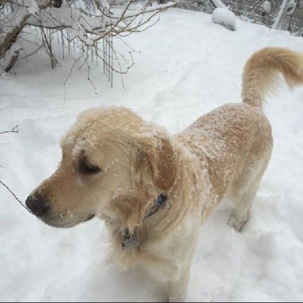 Davey Crockett in his new home. (Photo courtesy Golden Re-Triever Rescue)