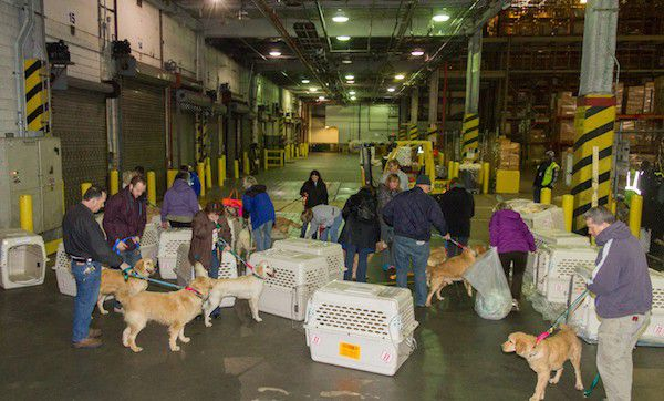Rescue volunteers welcoming Golden Retrievers from Turkey after their flight into JFK Airport in NYC. (Photo courtesy Bill Reyna/Golden Re-Triever Rescue)