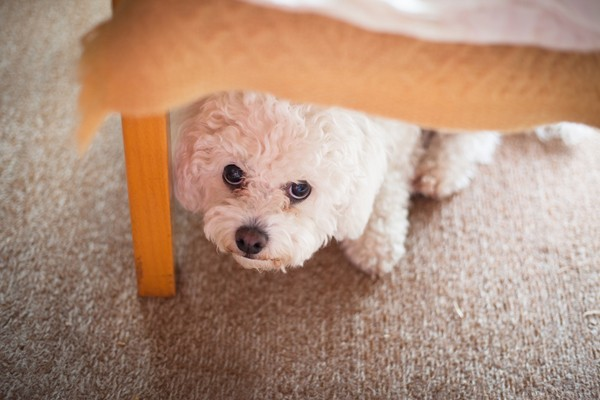 A scared dog hiding under a table.