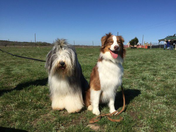 Bearded Collie, Brodie, and Cooper make friends while they wait. Photo courtesy Lynn Hayner
