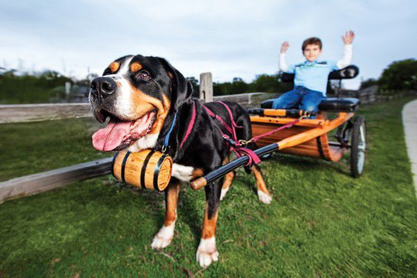 Greater Swiss Mountain Dog, Mouse, courtesy Jennie Chen
