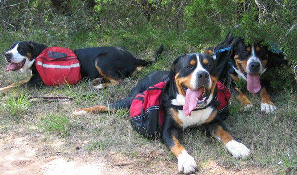 Greater Swiss Mountain Dogs packing. Courtesy Jennie Chen