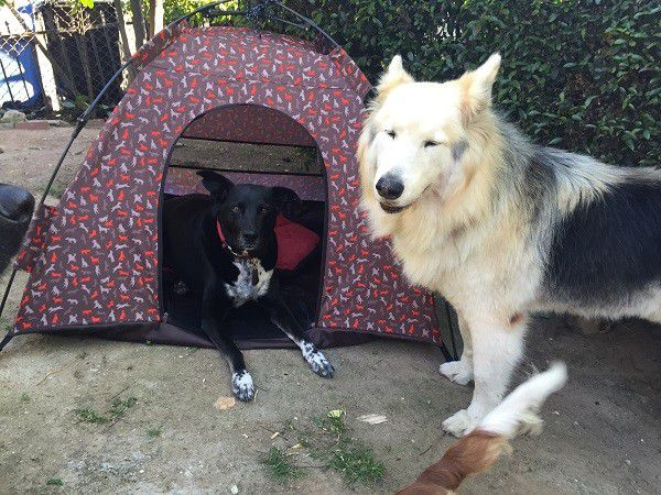Riggins and his pal Nikko hang out together with the dog tent. (Photo by Wendy Newell)