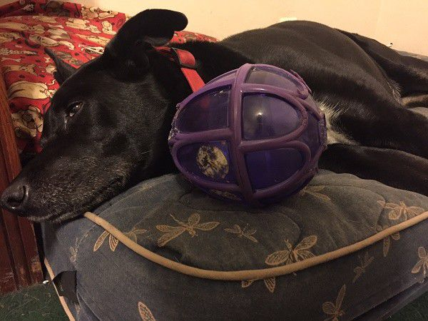 Eating your meal from a treat ball is hard work! (Photo by Wendy Newell)