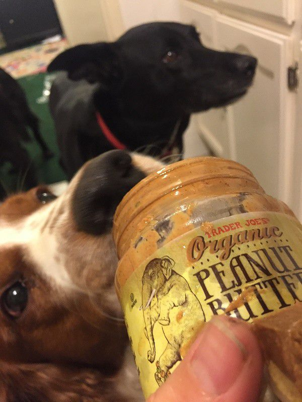 Riggins friend Spencer tries to sneak some peanut butter during medicine time. (Photo by Wendy Newell)