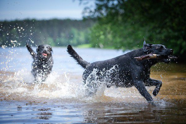Labradors swimming by Shutterstock.