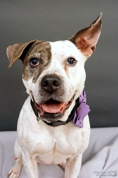 """Introducing Lilly, a 3-year-old American Bulldog mix who loves meeting new people, going for car rides, and destroying squeaky toys. Shelter staff describe her as a """"rock star"""" who will make an amazing addition to one very lucky family! Meet her today at Jacksonville Animal Care and Protective Services in Florida. (Photo courtesy Shannon Carvell)"""