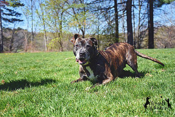 If Mara had her own Match.com profile, it would read: Young single brindle female loves long runs on the beach, hikes, strolls in the park, car rides, treats and belly rubs. Infectious smile, happy spirit, thoughtful, dedicated, energetic, attentive, and loving. Seeking a monogamous relationship with people only. This adorable 6-year-old Pit Bull and Labrador mix is waiting anxiously for your response at PAWS New England.