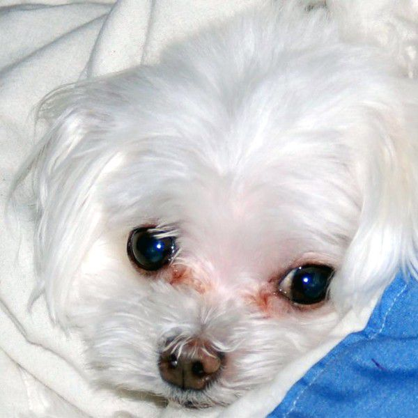 A white dog with tear stains.