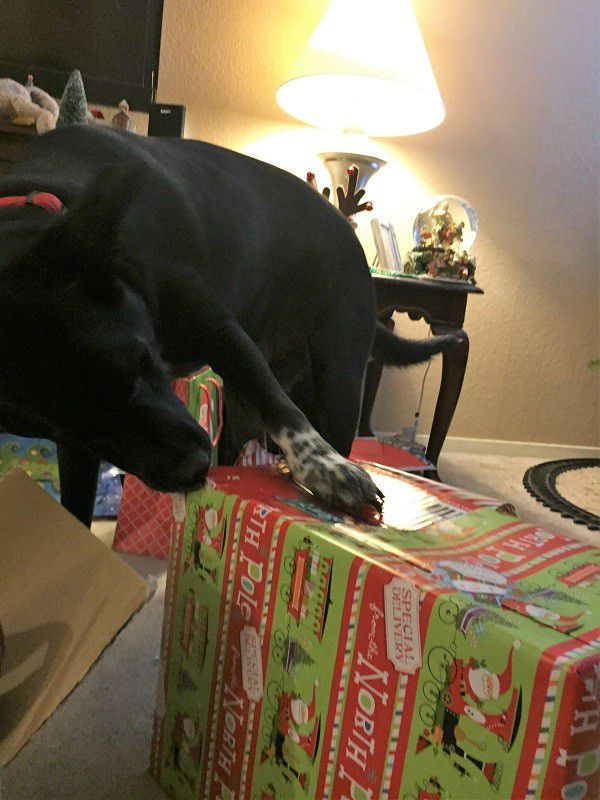 Who needs hands to open presents? Riggins has claws and teeth! (Photo by Wendy Newell)