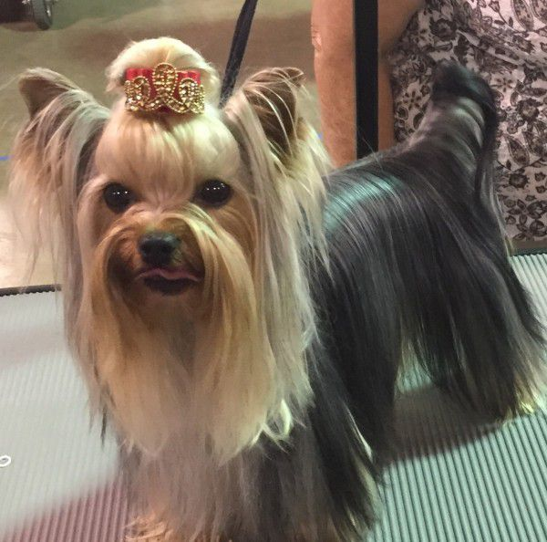Yorkshire Terrier courtesy Zoey porter and Mary Ingersoll-Ackerman