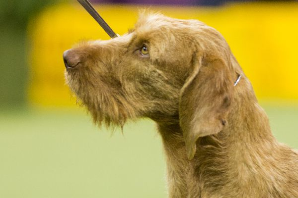 Hungarian Wirehaired Vizsla.