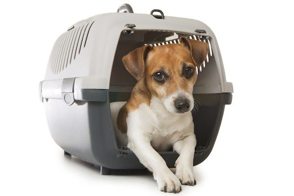 Jack Russell Terrier in crate by Shutterstock.