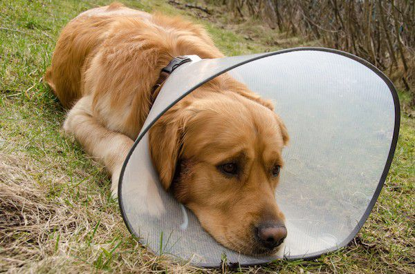 Dog with hot spots wearing cone by Shutterstock.