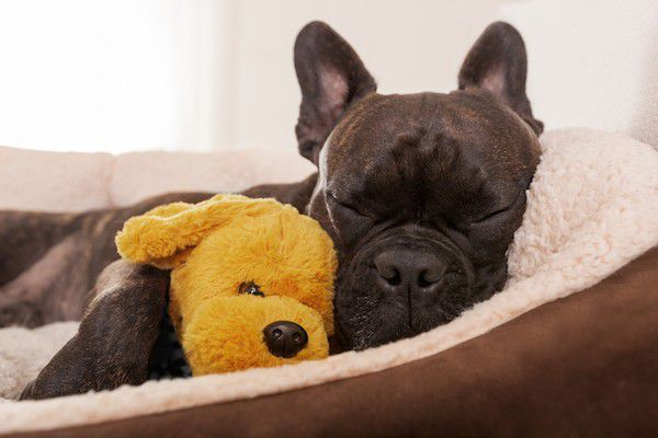 Napping Frenchie by Shutterstock.