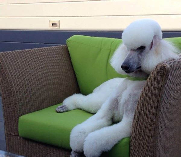 A poodle lounges on a couch.