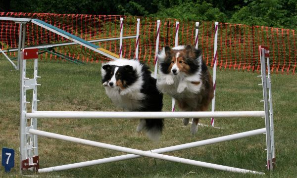 Two Shetland Sheepdogs jump over an obstacle on an agility course.