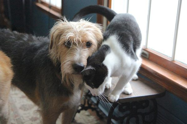 Tucker and Calvin — dog and cat — get along