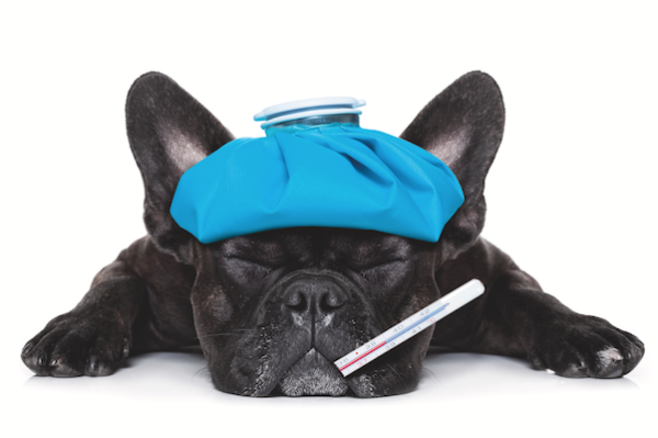 A sick dog with an ice pack on this head and a thermometer in his mouth.