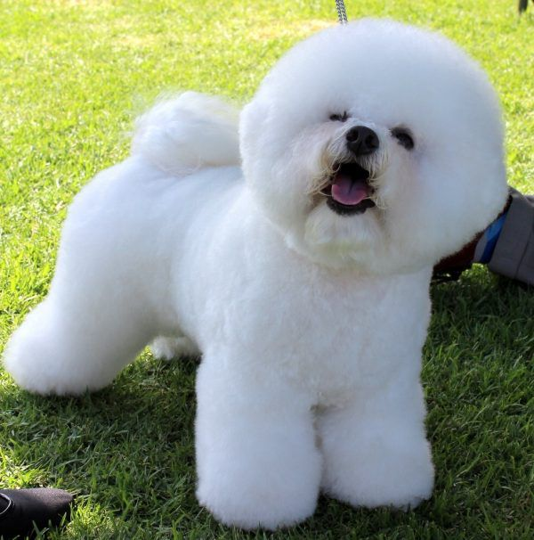 A Bichon Frise is among the longest living dog breeds.