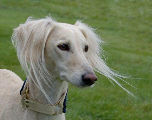 The Saluki is a dog that can grow old.