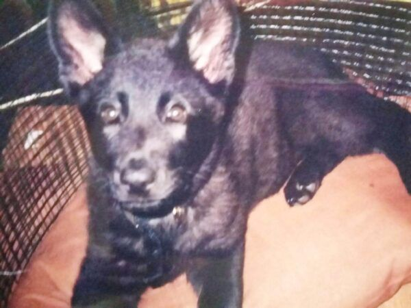 Pasha was the first German Shepherd I owned as an adult. I got her when she was just 6 1/2 weeks old, and she could fit on a bed pillow. (Photo by Kat Merrill)