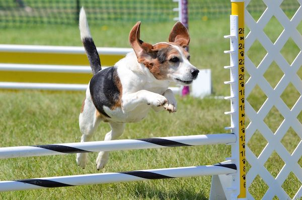 Beagle on agility course by Shutterstock.