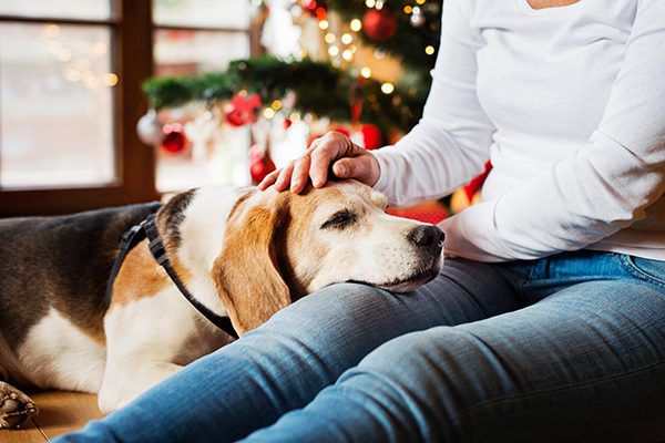 Beagle in woman's lap surrounded by holiday decor.