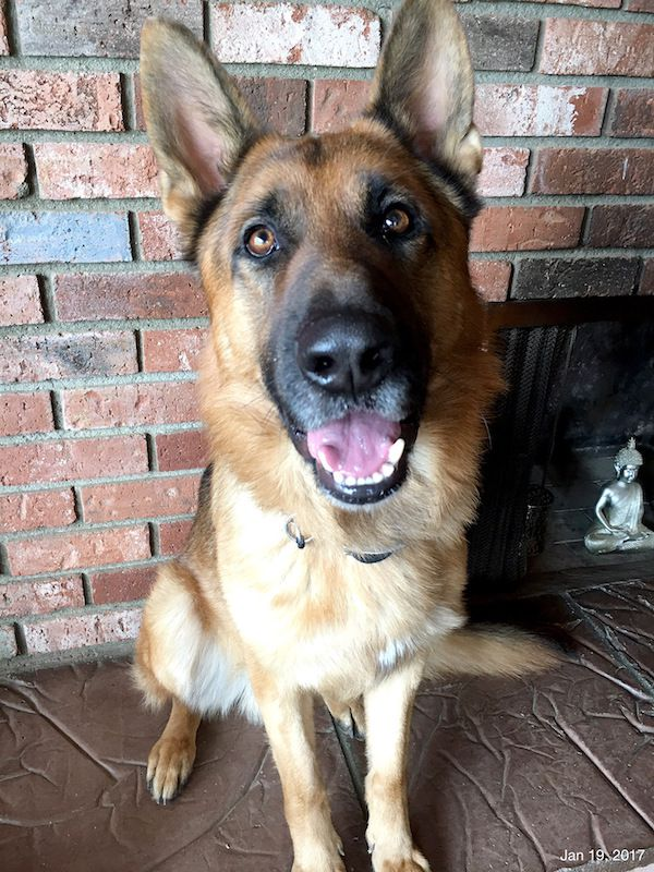 Amblin Partners released this photo of Hercules at home after the incident. (Photo courtesy Amblin Partners)